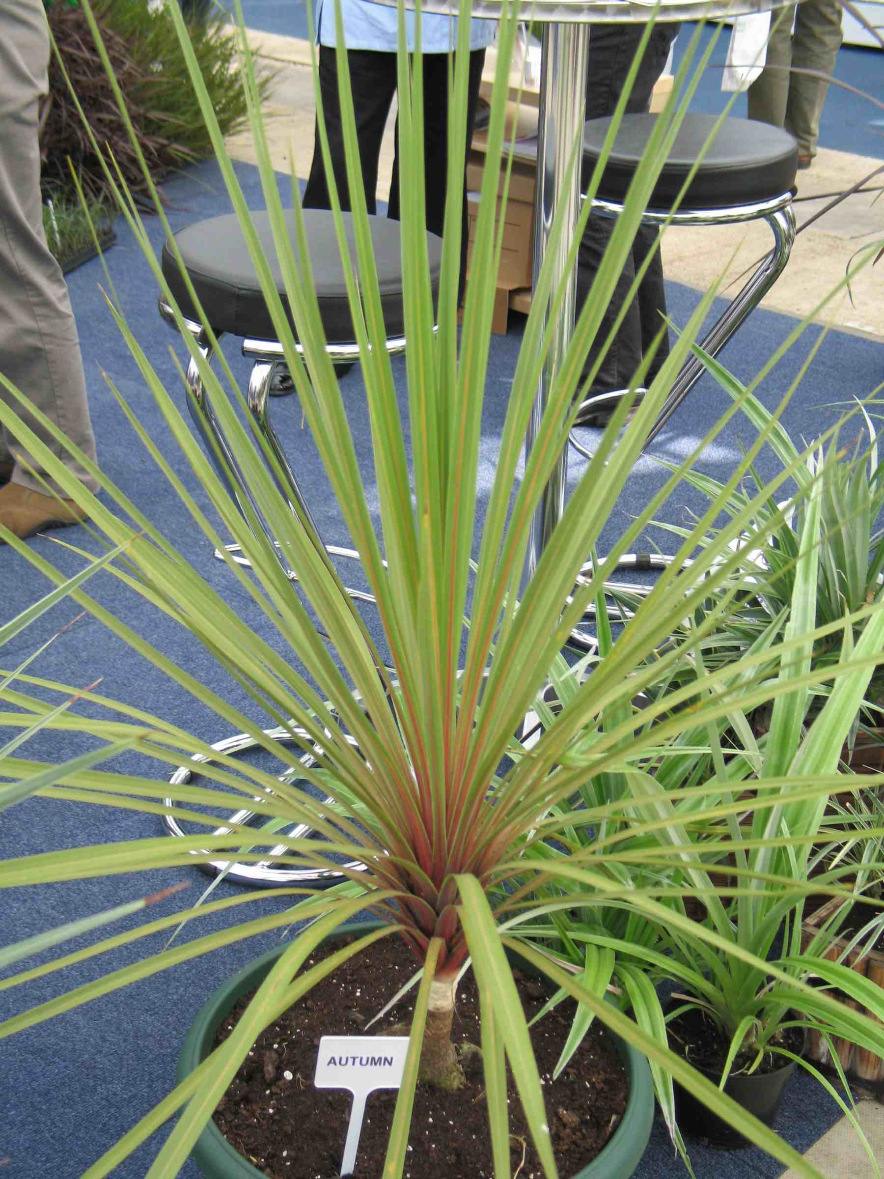 Cordyline australis Autumn